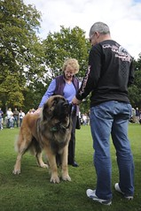 animal, dog, leonberger, pet, mammal, police dog, conformation show,