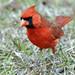 A Cardinal visits our campsite