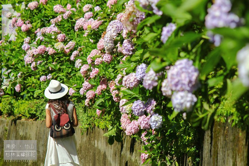 杉林溪繡球花11
