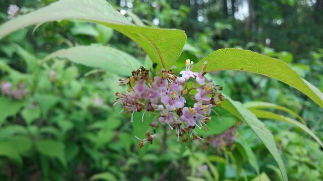 아침산행산책길 | 작살나무꽃