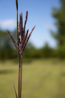 Big Bluestem grass 4560