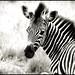 Zebra foal by Bean..