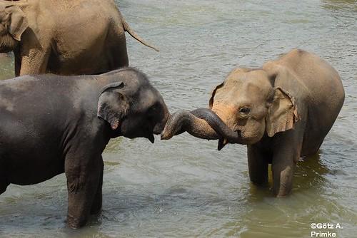 SriLanka_07_Elephant_Orphelins_2010_185