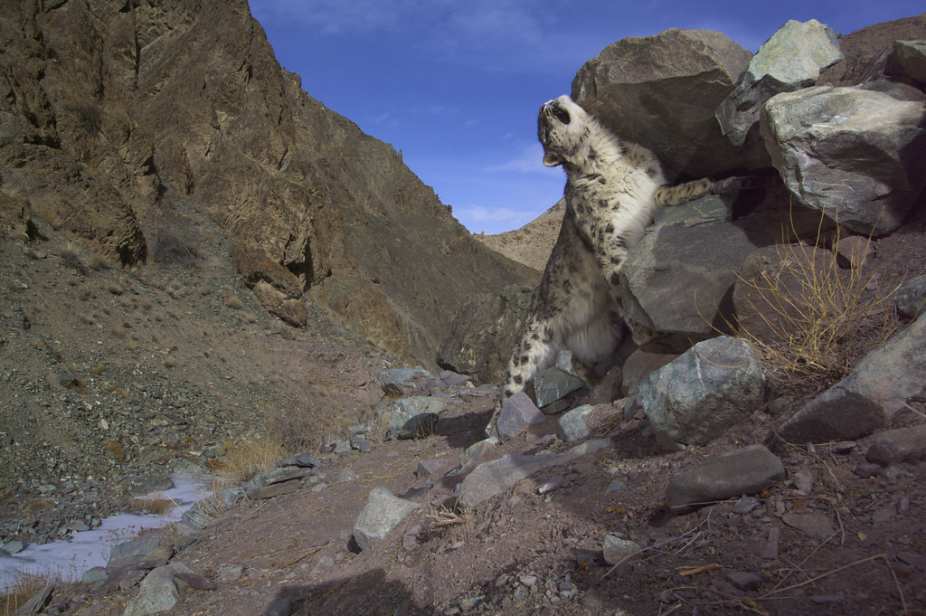 Snow leopard leaving its scent - Ladakh, India