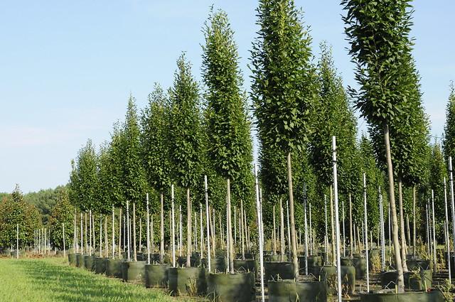Carpinus betulus ´Fastigiata´