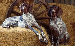 dog breed, animal, german longhaired pointer, dog, pet, mammal, small mã¼nsterlã¤nder, braque francais, pointer, braque d'auvergne, german shorthaired pointer, hunting dog,
