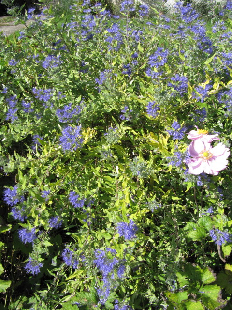 Photo: Bluebeard 'Heavenly Blue'