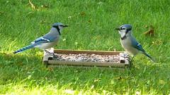 Blue Jay • Adult & Juvenile  (Cyanocitta cristata)