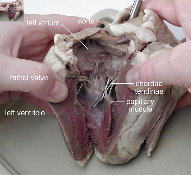 Mammalian Heart Essay