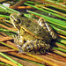 California Red-legged Frog - Photo (c) Greg Schechter, some rights reserved (CC BY)