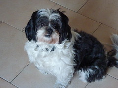 dog breed, animal, dog, cavachon, schnoodle, pet, lã¶wchen, tibetan terrier, bolonka, poodle crossbreed, biewer terrier, havanese, lhasa apso, morkie, chinese imperial dog, shih tzu, carnivoran,