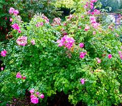 rosa wichuraiana, annual plant, shrub, garden roses, flower, garden, plant, groundcover,