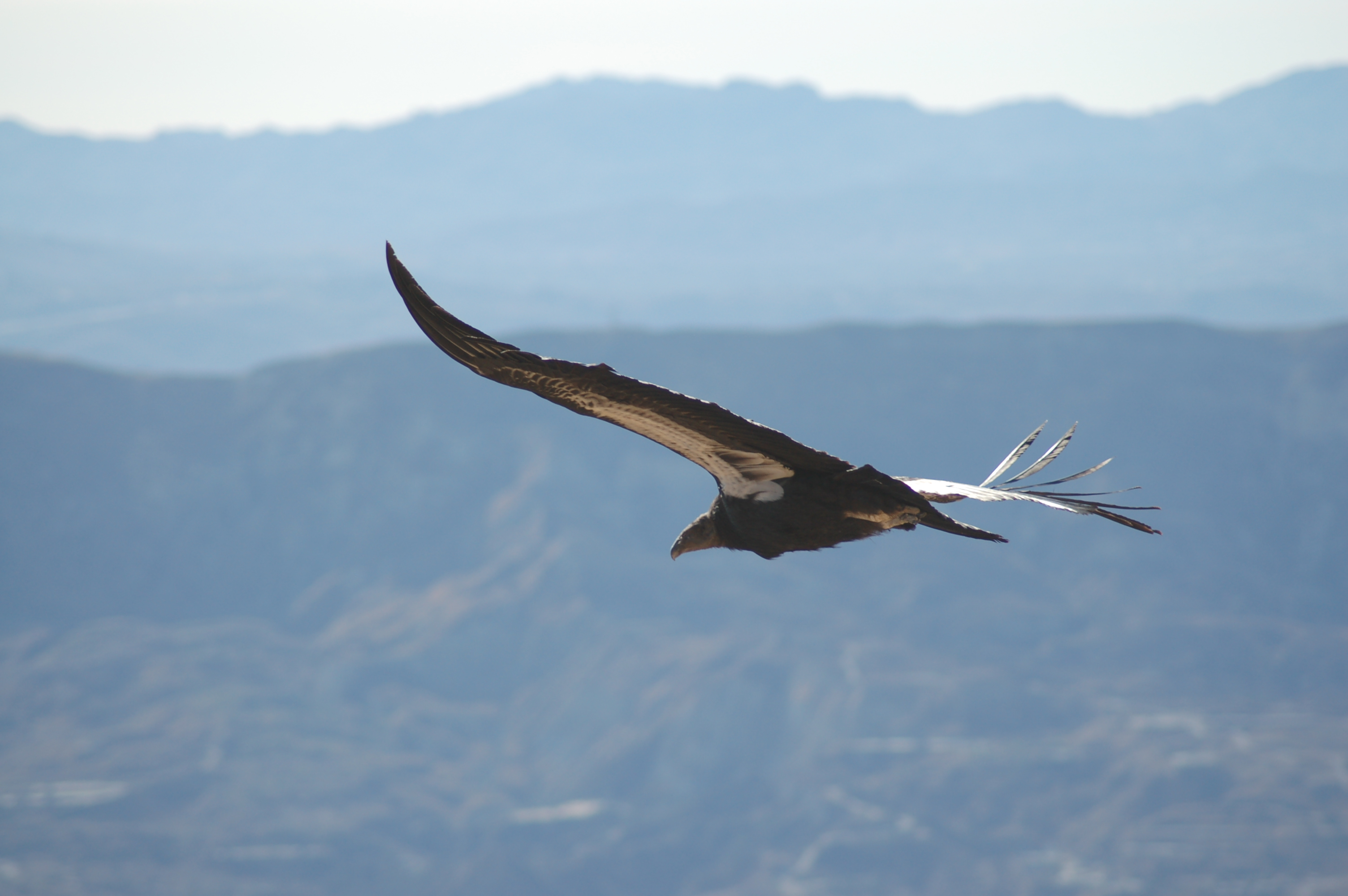 California condor #412 soars above the Los Padres National Forest