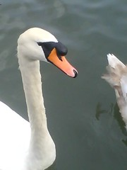 Swans, Ducks, Geese - River Nene, Northampton.
