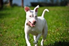 american bulldog(0.0), bulldog(0.0), terrier(0.0), dog breed(1.0), animal(1.0), dog(1.0), grass(1.0), dogo argentino(1.0), pet(1.0), bull terrier (miniature)(1.0), bull terrier(1.0), guard dog(1.0), carnivoran(1.0),