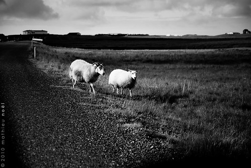 Iceland - Sheeps on Vatnsnes peninsula