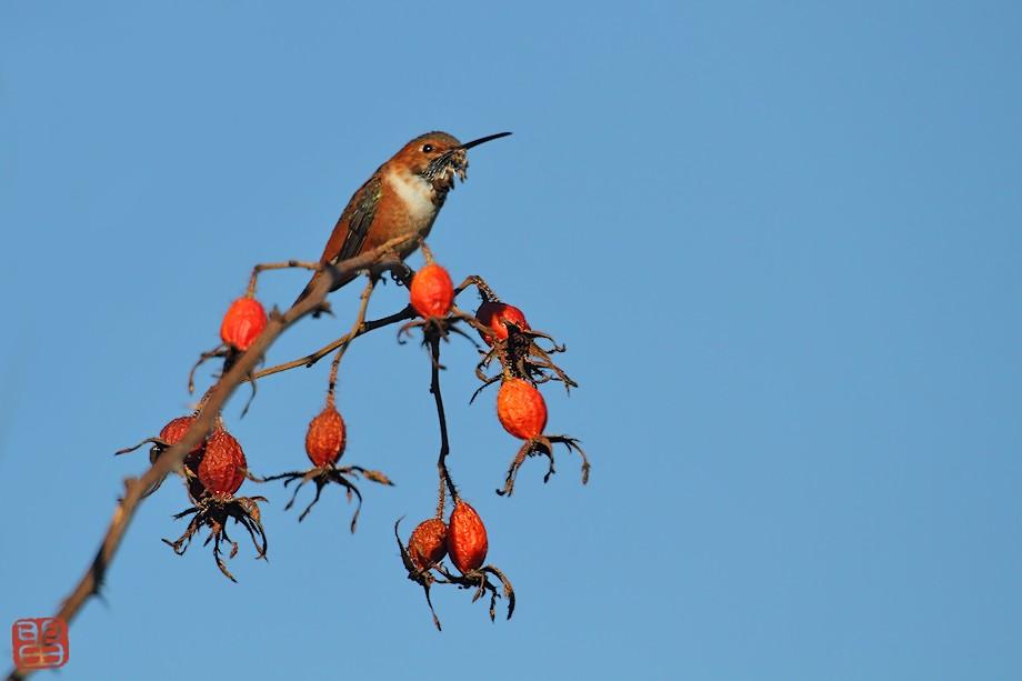 Allen's Hummingbird 10101-6