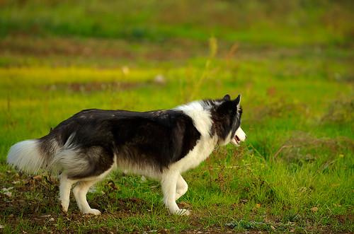 5097446660 b9efe4e1bf Nice Siberian Husky photos