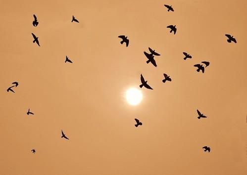 sunset india nature birds silhouette fly flying day pigeons flock sortie nikond3000 mygearandmepremium mygearandmebronze mygearandmesilver
