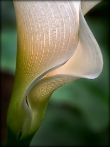 white yellow gold flora ngc callalily doublefantasy petaledge floralfantasy12