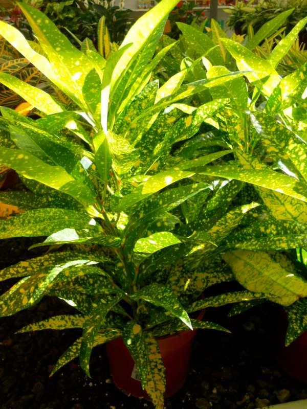 Codiaeum variegatum 'Gold Star' v 1
