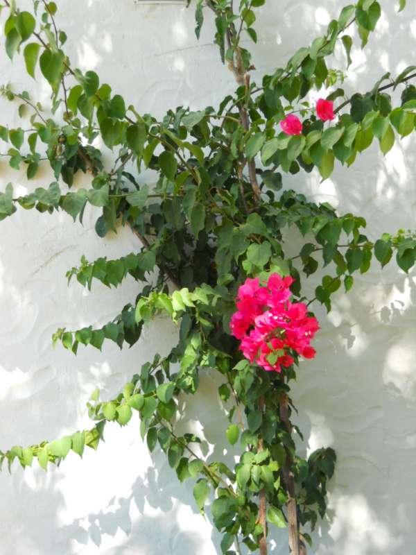 Bougainvillea glabra 'Sanderiana Scarlet O'Hara' v 3