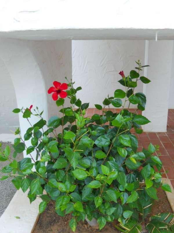 Hibiscus rosa sinensis 'Holiday' v 4