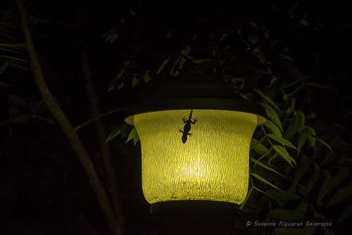 A gecko in the moon