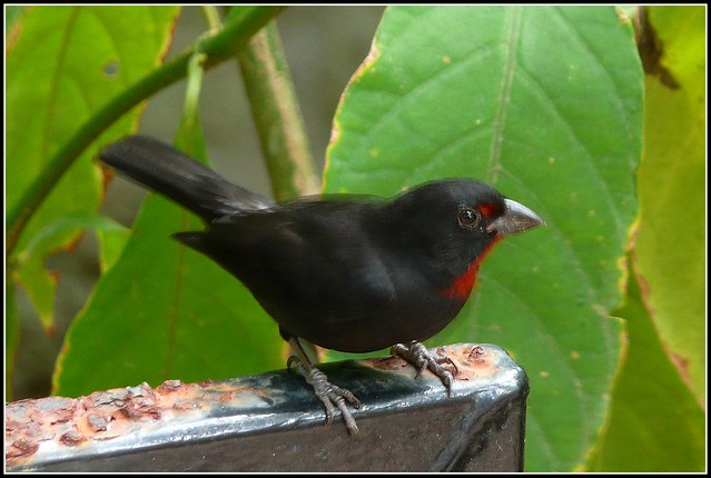 Bird With Red Throat 82