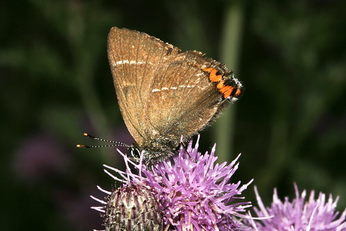 White Hairstreak 39802