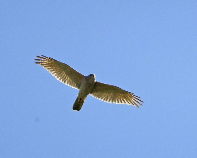 Header of Accipiter cirrocephalus