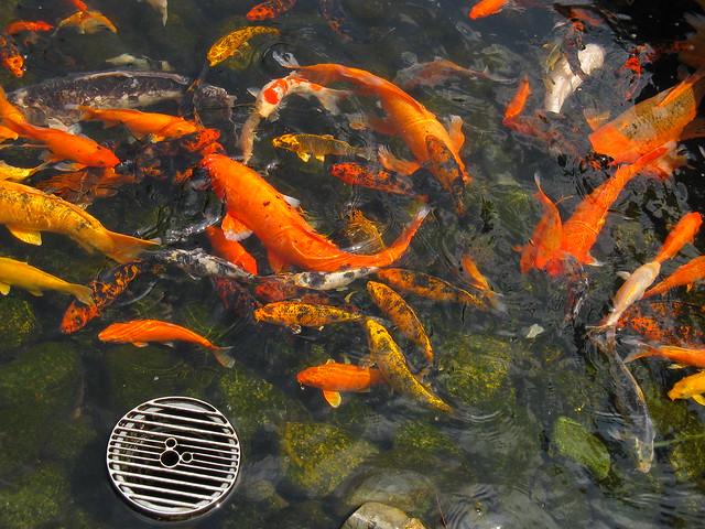 Koi pond japan pavilion epcot walt disney world florid for Michael koi pond