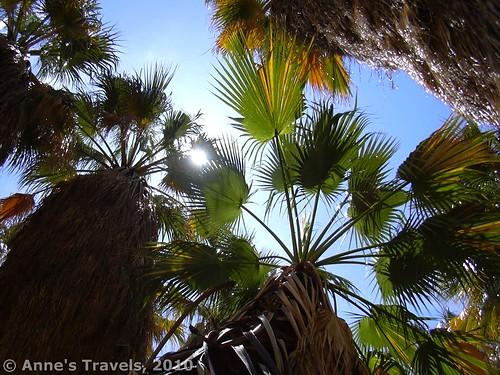The palms in Borrego Palm Canyon, Anza-Borrego Desert State Park, California