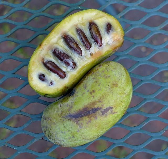 pawpaw fruit, Asimina triloba
