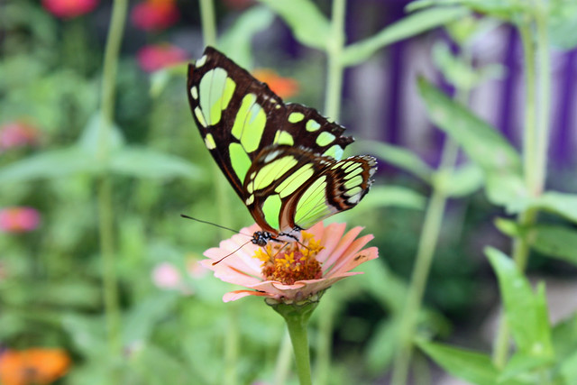 Butterfly at brookside gardens flickr photo sharing - 20100907 15 Malachite Butterfly Siproeta Stelenes At