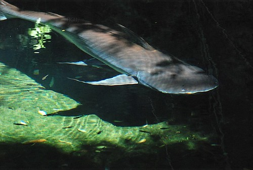 Flickr: The Pangasius, lovers shark catfish Pool