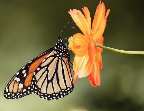 butterfly © monarch raleighnc jcraulstonarboretum garyburke zuiko70300mm orangeflowerthingy olympuse620
