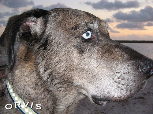 Orvis Cover Dog Contest - Gumbo