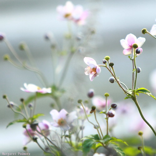 /365 Japanese Anemone by M Pod