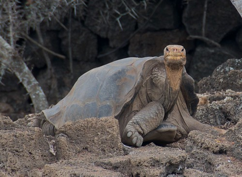 Lonesome George by A. Davey