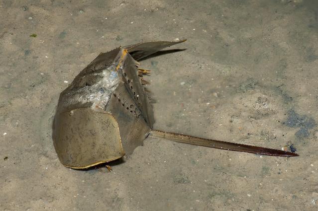 Coastal horseshoe crab (Tachypleus gigas)