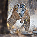 tiger_andyrouse_IND00711_00046 by wildmanrouse