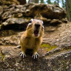 animal(1.0), squirrel(1.0), fox squirrel(1.0), rodent(1.0), prairie dog(1.0), nature(1.0), fauna(1.0), marmot(1.0), chipmunk(1.0), wildlife(1.0),