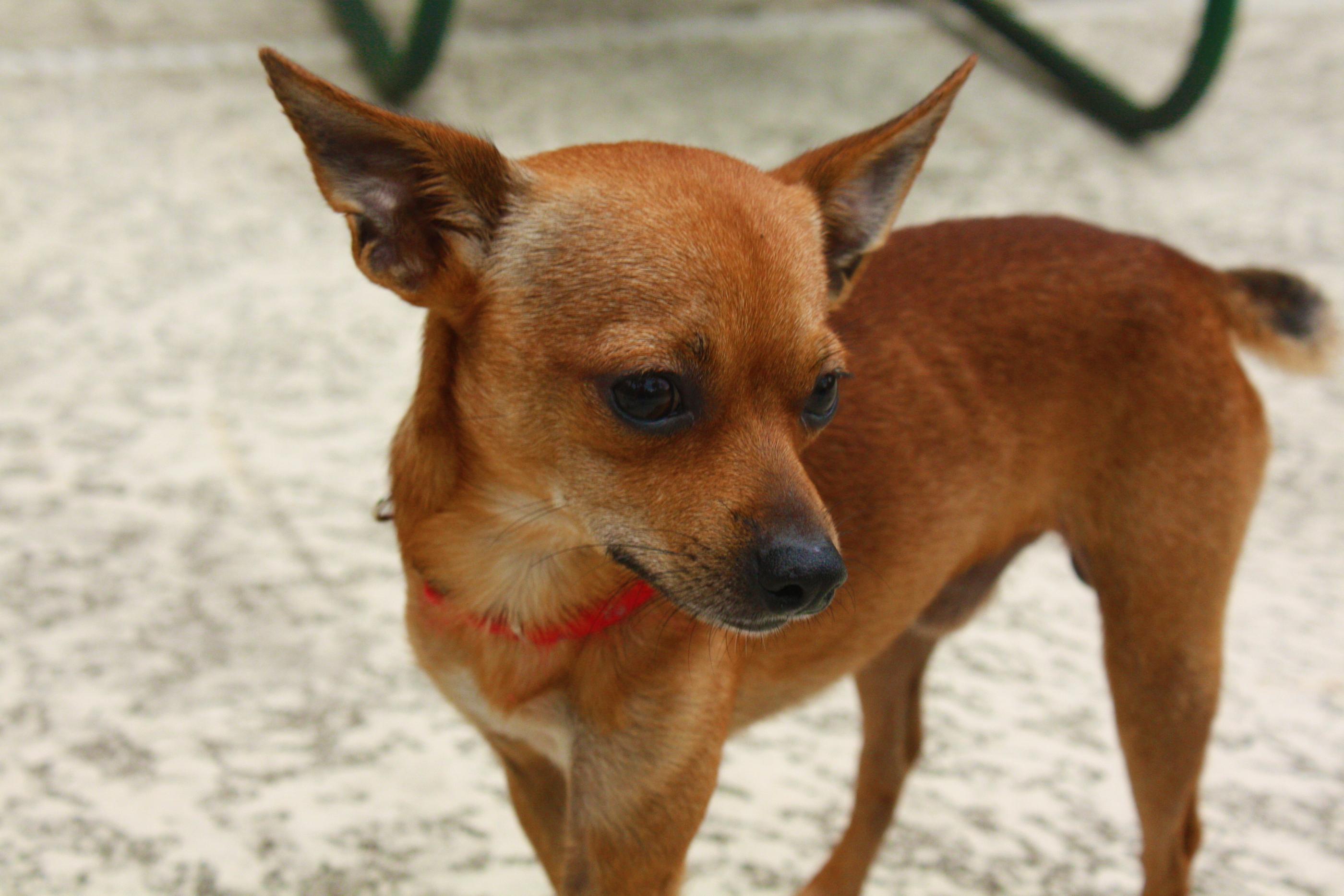 Deer Chihuahua | Flickr - Photo Sharing!