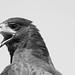 hawk by Primus D'Mello