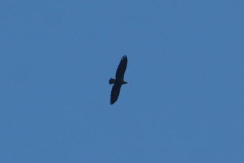 Golden Eagle - Subadult
