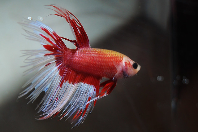 Red and White Betta | Flickr - Photo Sharing!