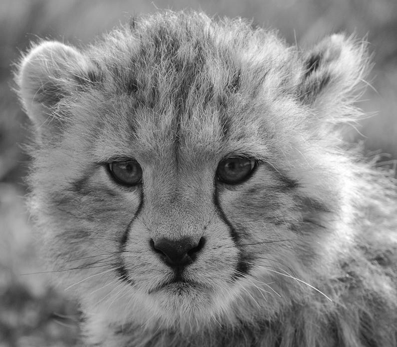 Black And White Photography Cheetah Black And White Cheetah