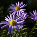 Morning dew on the aster