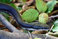 Black Rat Snake (Elaphe obsoleta)